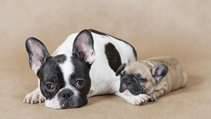 Pet Care Checklist For French Bulldog Owners CWA